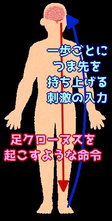 足クローヌスを引き起こす刺激