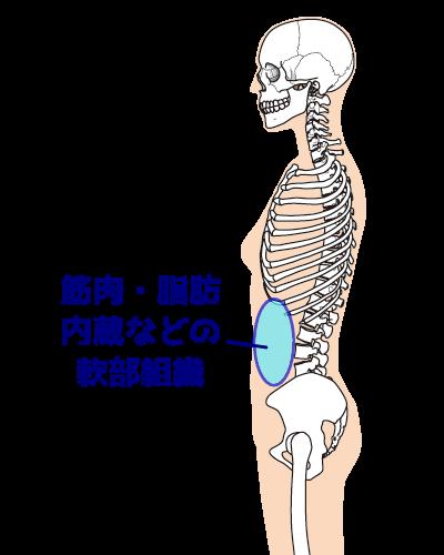 お腹の軟部組織